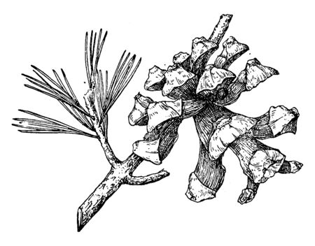 A picture of a Pine Cone of a Parry Pinyon also known as Pinus Quadrifolia, vintage line drawing or engraving illustration.