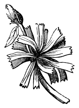A picture of Sessile which is leaves seated on the stem, without footstalks, vintage line drawing or engraving illustration.