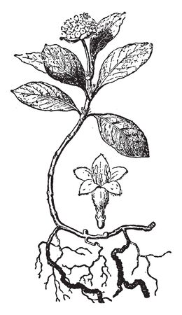 The dried stem and roots of either of two tropical American plants (Cephaelis acuminata and C. ipecacuanha) of the madder family used especially as a source of emetine, vintage line drawing or engraving illustration.