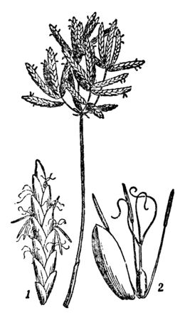 Cyperus is a small plant found in China. It is consists of a single stem, with smaller, extremely long, thin green leaves that taper to a point, vintage line drawing or engraving illustration. Stock Illustratie