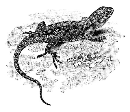 Eastern Fence Lizard is a medium sized species of lizard common along the east coast of North America, vintage line drawing or engraving illustration.  イラスト・ベクター素材