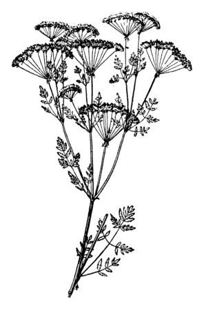 In this frame has poison hemlock's plant. It is a toxic plant. Its leaves are triangular and the flowers are thick and dense, vintage line drawing or engraving illustration. Illustration