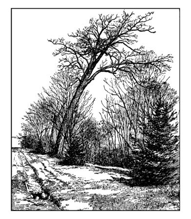 Picture of White Oak tree. The white oak (Quercus Alba) is a long-lived tree used for shade in landscapes and White oak may be bothered by bacterial leaf scorch and two-lined chestnut borer, vintage line drawing or engraving illustration.
