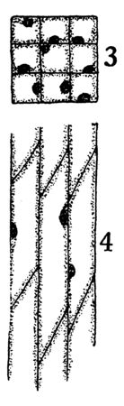 A picture showing the development stage of Bast fiber. 3 and 4, cross-sectional and longitudinal sections of primary meristematic cells that will become bast fibers, vintage line drawing or engraving illustration. Standard-Bild - 132831957