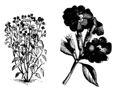 The Browallia Elata flowers are funnel shaped flowers and oval shaped leaves. The flower sepal is long and tabular, vintage line drawing or engraving illustration.