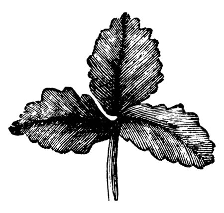 There are three leaf and they attach to one petiole. The leaves are usually three lobed, vintage line drawing or engraving illustration. Çizim