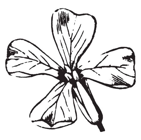 They have tiny flower, they have five petals, and the flower produce many short pod, vintage line drawing or engraving illustration.