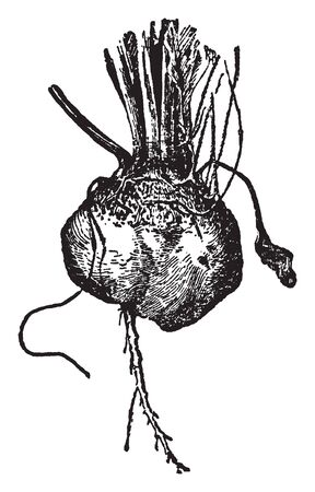 This is an image of Bassano Beet. This is a root and Its size is like potatoes, vintage line drawing or engraving illustration. Illustration