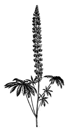 Lupinus Polyphyllus is a species of Lupine. It has white, pink, red, purple, and yellow, dark blue colored flowers. Leaves are compound, vintage line drawing or engraving illustration.