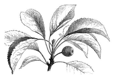This is a leafy branch of a birch-leaved tree which produces inedible brown fruits, vintage line drawing or engraving illustration.