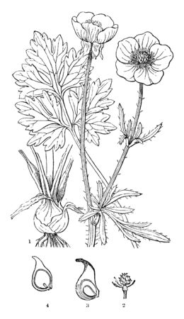 Ranunculus bulbous or the bulbous buttercup is a perennial weed of the Buttercup family, Ranunculaceae, vintage line drawing or engraving illustration.