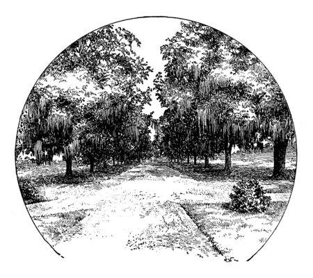 Avenue of Live Oaks at Audubon Park in New Orleans, vintage line drawing or engraving illustration. Ilustração
