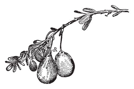 This image of a ovoid cranberry. This fruit is sweet and juice, this is a rad color fruit. This is a rounded shape fruit, vintage line drawing or engraving illustration. Çizim