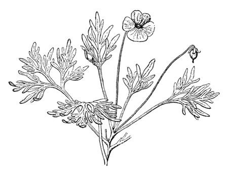 The showing viola Beckwithii leaves margin is lobed and arrangement alternate. The flower is made by five petal, upper side two and lower side three petal, vintage line drawing or engraving illustration.