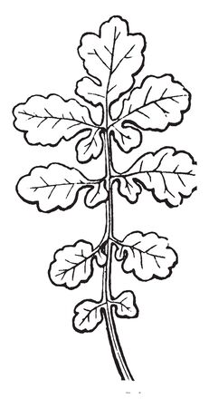 This is a Image of Cleft Leaf. The Leaves are palmately Compound with Nine leaflets. Some Leaves are small and some are Big, vintage line drawing or engraving illustration. Illusztráció