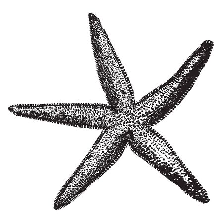 Common Starfish is the most common and familiar starfish in the north east Atlantic and belonging to the family Asteriidae, vintage line drawing or engraving illustration. Illustration