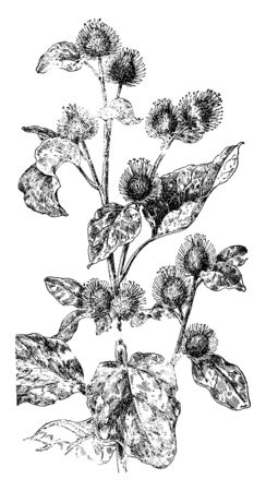 Picture of Burdock plant. It is a native of Eurasia. Stem leaves are large, heart-shaped, and very hairy on the undersides, vintage line drawing or engraving illustration.