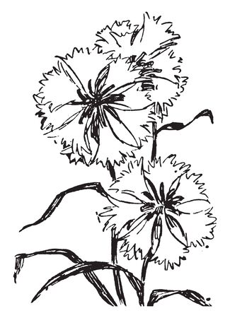 It is an annual hairy shrub or herb of the pink family has purple-red flower that is found in grain fields, vintage line drawing or engraving illustration. Stock Illustratie