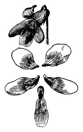 A picture showing viola papilionacea. This is from Violaceae family. Flowers are Violet. The petals are small and oval shaped. Flowers have four to five petals, vintage line drawing or engraving illustration. Çizim