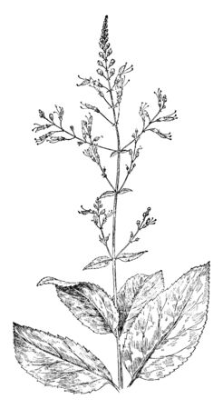 Rich Weed (Collinsonia Canadensis) is a coarse perennial herb, tallest species that can grow up to 5 ft. with large, oval, toothed leaves. The roots have been used in medicine as a diuretic, vintage l