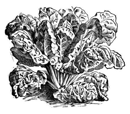 This is a Swiss chard. Its leaves are denser and rectangular as well as the colour of leaves is gold, pink, orange, purple, red and white with bright and pastel variations, vintage line drawing or engraving illustration.