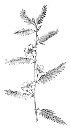 This is an image of Partridge Pea plant. The pinnately-compound leaves bearing many small. Large, showy, yellow flowers arise from leaf axils, vintage line drawing or engraving illustration.