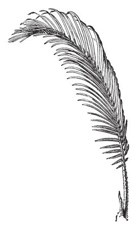 Sago Palm  leaves are a deep semi-glossy green and about 50150 cm (2059 in) long, the crowded, stiff, narrow leaflets are 818 cm (3.17.1 in) long and have strongly recurved or revolute edges, vintage line drawing or engraving illustration.