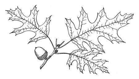 Nuttall oak is other valuable timber tree of eastern and southern North America, vintage line drawing or engraving illustration.