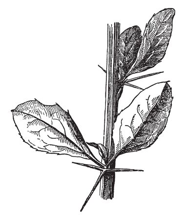 A Berberis Vulgaris is thorny plant, leaves and thorns have grown on the each node, vintage line drawing or engraving illustration.