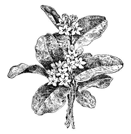 This picture shows Trailing Arbutus Plant. It is also called arbutus, mayflower. Creeping plant, Epigaea repens, of the heath family, having leathery, oval leaves & terminal clusters of fragrant pink, vintage line drawing or engraving illustration. Stock Vector - 132832068