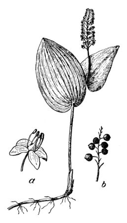 This image is a flower which is called Canada Mayflower, in which it has been told to germinate, vintage line drawing or engraving illustration.