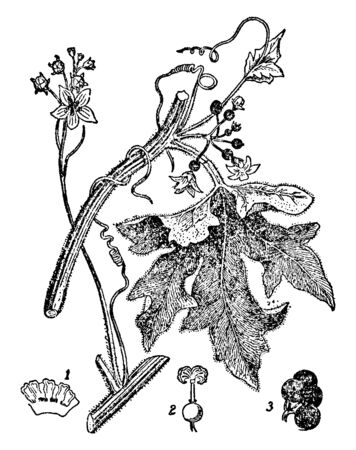 The bryony is a climbing vine, bryony is thorny and hairy. There are some lobed leaves, flowers, bud and seed, vintage line drawing or engraving illustration.
