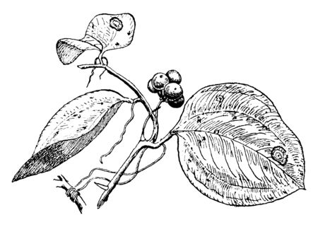 """A picture shows the Smilax Plant. They are commonly known by the rather ambiguous name """"carrion flowers"""". Leaves are flat spherical and fruits are like berries, vintage line drawing or engraving illustration."""
