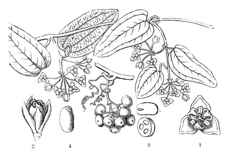 The sweet Sarsaparilla, is a dioecious climber native to eastern Australia. Male flower seen from above,female flower,a transverse section of an ovary, a seed, a section of a seed, vintage line drawing or engraving illustration.