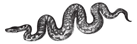 Boa constrictor is a species of large heavy bodied snake that is frequently kept and bred in captivity, vintage line drawing or engraving illustration.