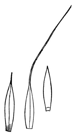 This picture showing spiked wood grass, this is blade of grass, leaves are thing and long the upper side of leaves are very thin, vintage line drawing or engraving illustration.