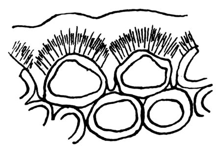 A picture of two epidermal cells in cross section showing a thickened external wall differentiated into three layers, namely an outer cuticle, a cutinized layer and an inner cellulose layer, vintage line drawing or engraving illustration.