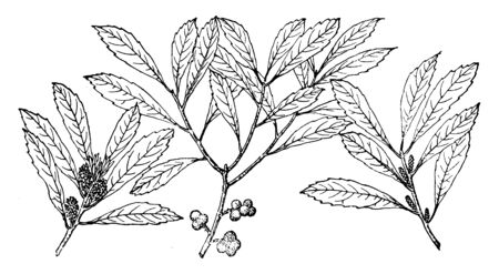 There are three different branches of Myrica cerifera. Some of the branch has fruits and some of the branches have buds. This is used for candle-making, as well as a medicinal plant, vintage line drawing or engraving illustration.