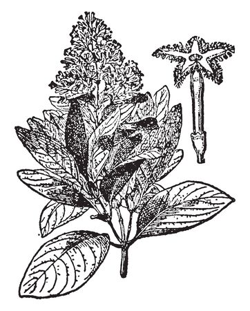 This plant grows in wet and mossy forest, in the mountains of the Andes, at an altitude of 1050 m - 1500 m above sea level, especially in southern Peru and Bolivia, vintage line drawing or engraving illustration. Иллюстрация