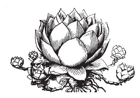 The image shows a houseleek plant also known as Sempervivum. It is a fleshy plant, which stores its nourishment in its leaves, vintage line drawing or engraving illustration.