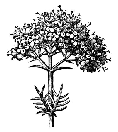 Valerian Inflorescence is flowering plant. They are bloom from June to September. The flowers are sweetly scented pink or white, vintage line drawing or engraving illustration.