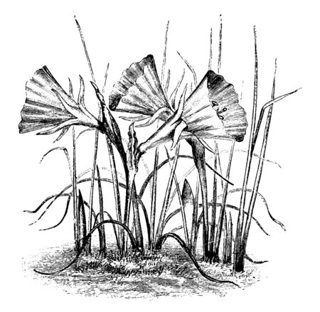 The image shows Hoop petticoat and it is also known as narcissus bulbocodium. The flowers are bright yellow. It is a variable, small, hardy bulbous perennial, growing to 10-15 cm tall, vintage line drawing or engraving illustration.