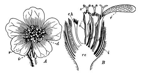 This image describe the part of yarrow, a point describe top part of the flower and point B describes, longitudinal section, receptacle, chaff, involucre, ray-flowers, disk-flowers, corolla, stigma, vintage line drawing or engraving illustration.