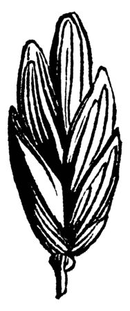 This is showing of grass picture, this leaves are very broad and very thickness, vintage line drawing or engraving illustration.