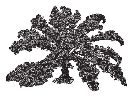 This picture showing curled kale. Leaves are very dense and long. Leaves are attached to stems. It is a type of vegetable, vintage line drawing or engraving illustration.