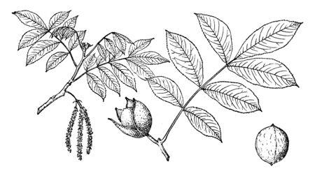 Branches of Nutmeg Hickory tree, vintage line drawing or engraving illustration. Ilustração
