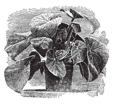 Begoina Scharffiana has attractive foliage with hair and large leaves. It has petiole and long stem, vintage line drawing or engraving illustration.