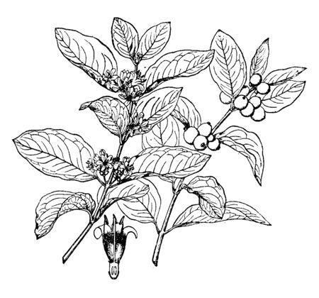 Symphoricarpos occidentalis belongs to the honeysuckle family it is a creeping shrub, with pink rounded bell shaped flowers and spherical shaped white or pink tinted fruits, vintage line drawing or engraving illustration.