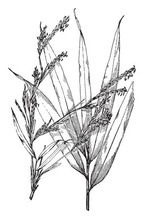 A picture of Arundinaria Japonica. The leaves are five to eight inches long also it is grows five to ten feet tall. It is mostly found in Japan as well as Korea, vintage line drawing or engraving illustration.