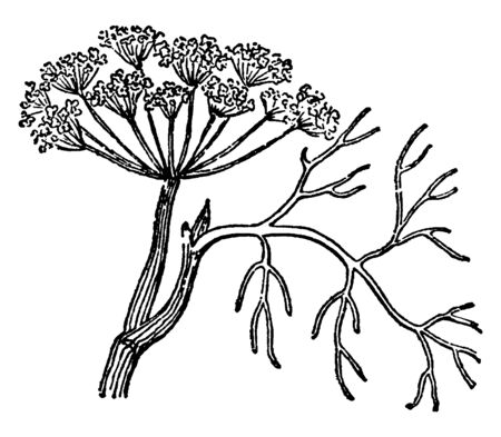 A picture, thats showing Dill. It is an annual herb in the celery family Apiaceae. It is the only species in the genus Anethum. It is widely grown in Eurasia. Flowers are white to yellow, vintage line drawing or engraving illustration.